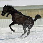 ingiliz atı