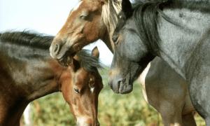 Atlar Kaç Yıl Yaşar? 1