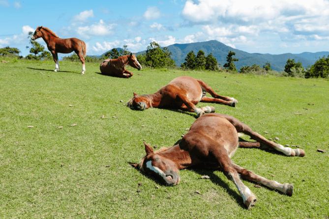 atlar nasıl uyur kimi zamana ayakta kimi zaman da yatarak uyuyabilir