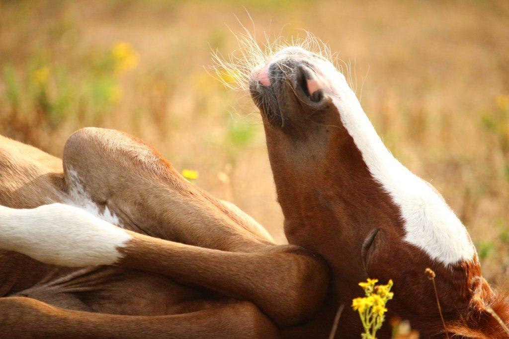yatarak uyuyan atlar