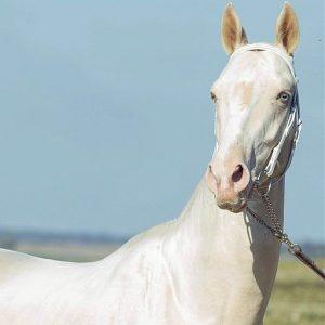 Hazreti Ali'nin Atı: Düldül - Düldül Kimin Atı? - Düldül Atı 1