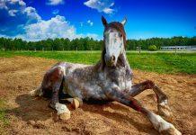 atlar kaç yıl yaşar