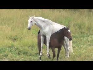 Şah İsmail'in Atı: Kamer Tay 1