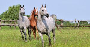 Atlarda Dejeneratif Eklem Hastalığı 2