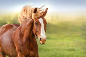 Rahvan Atçılık ve Yarışlar - Rahvan Atların Özellikleri 2