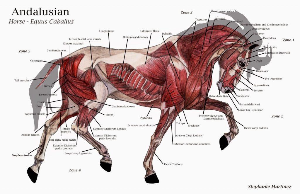 At Anatomisi Hakkında Bilmeniz Gerekenler 1