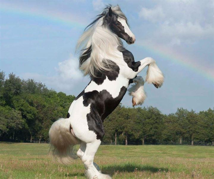 çingene atı özellikleri