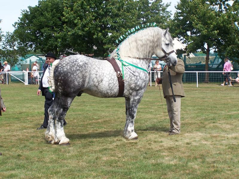 Percheron atı dünyanın en büyük atları arasındadır