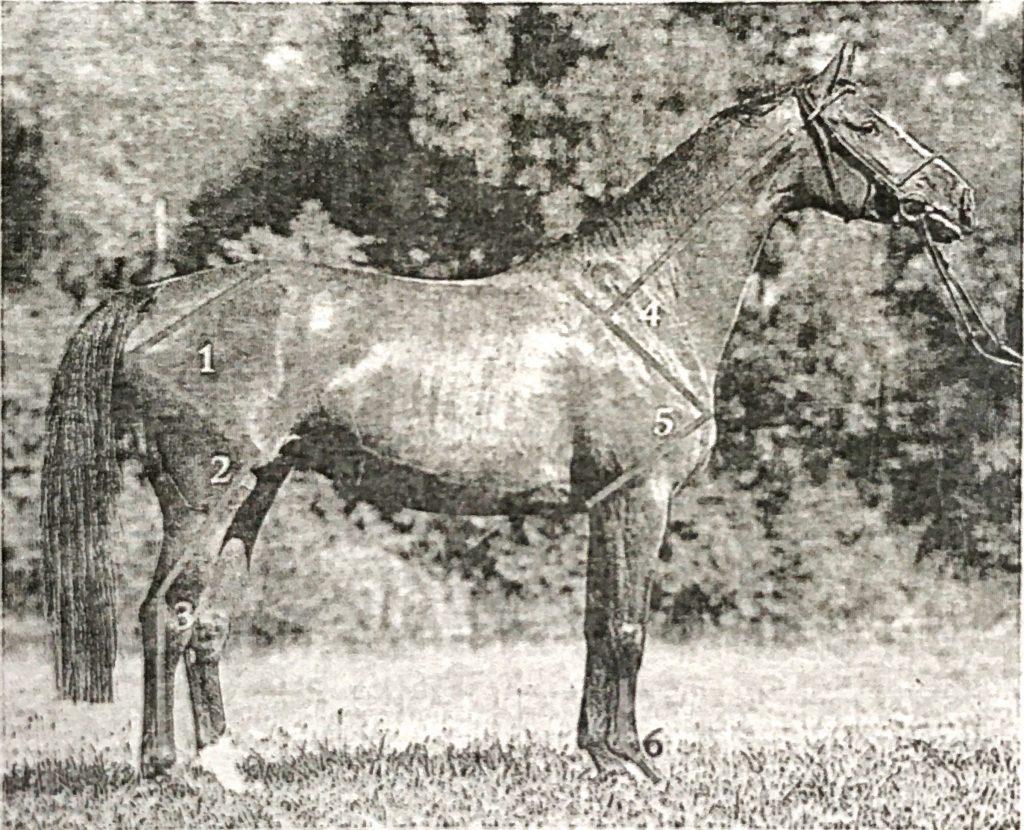 dresaj atı özellikleri
