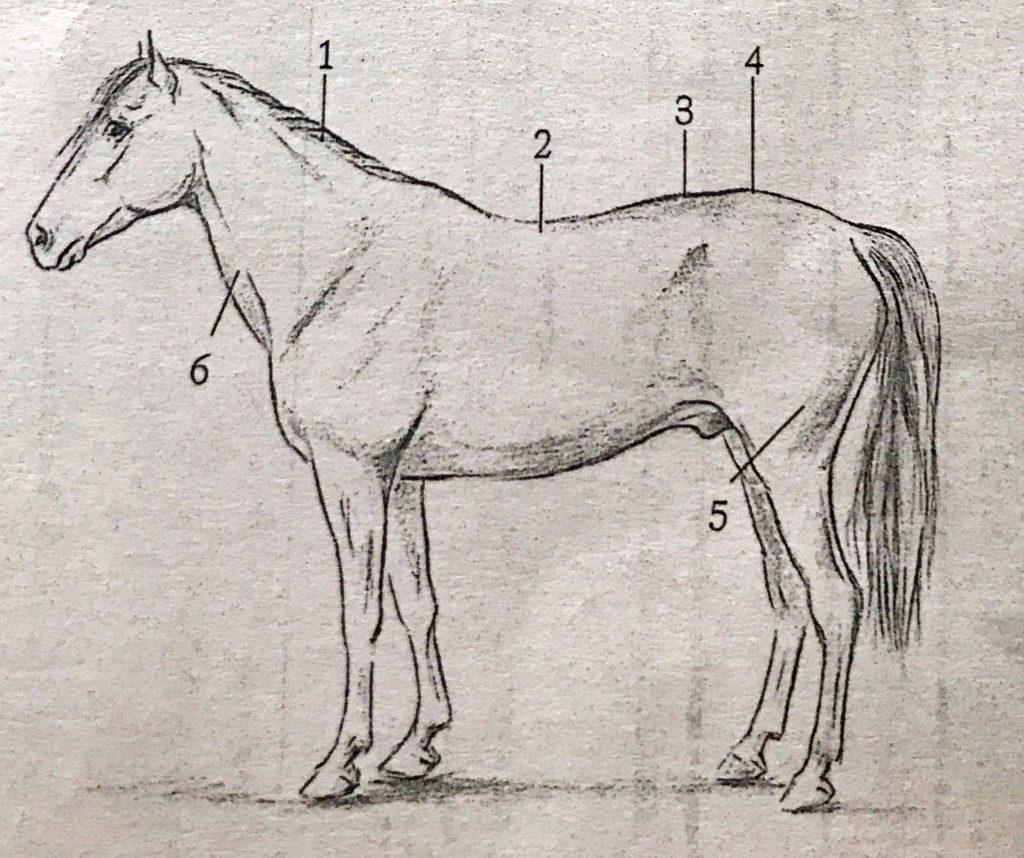 bazı fiziksel özellikleri uygun olmayan bir dresaj atı