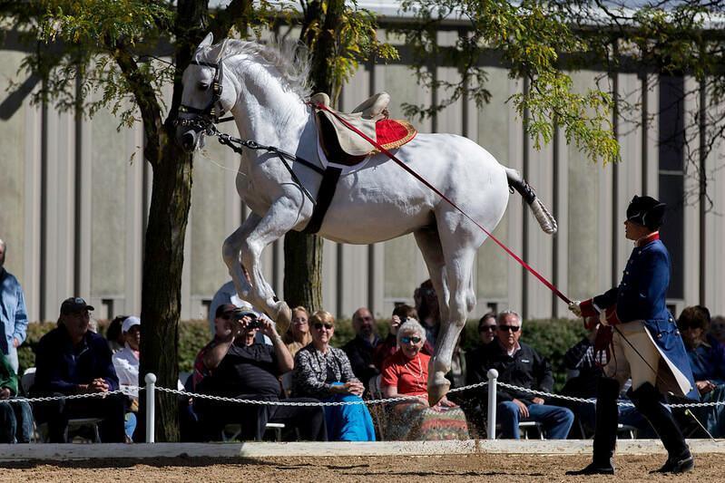 Lipizzan Atı Fotoğrafları 1