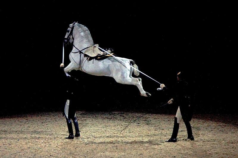lipizzaner horse lipizzan atları