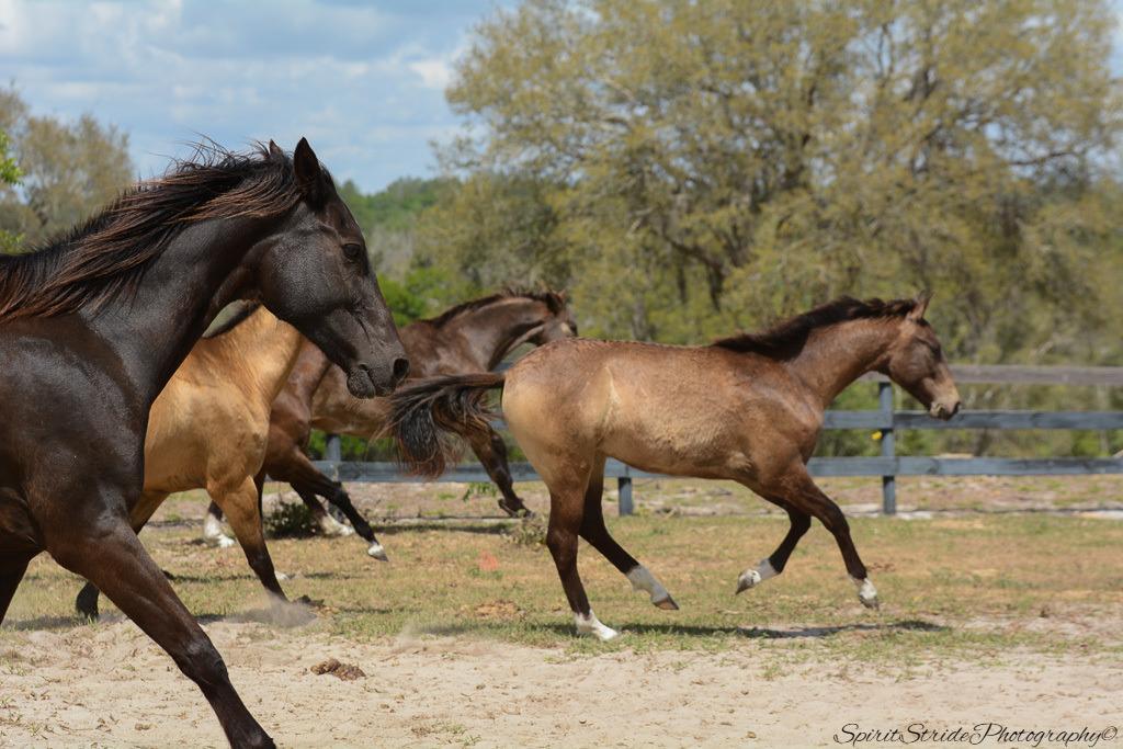 ahal teke atı fotoğrafları