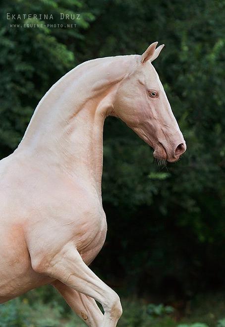 dünyanın en güzel atı ahal teke