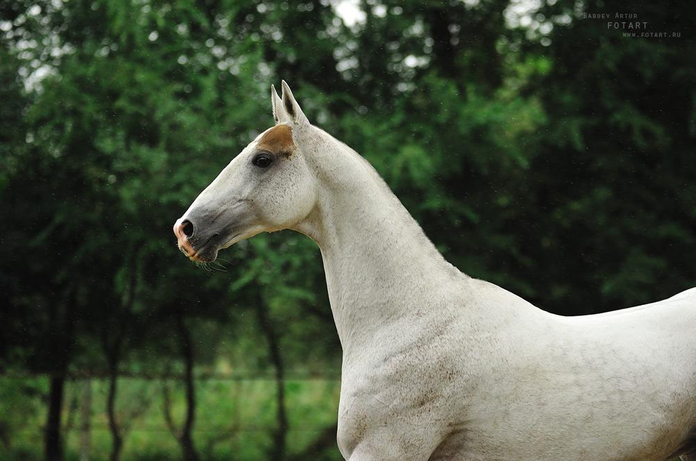dünyanın en güzel atı ahal teke resmi