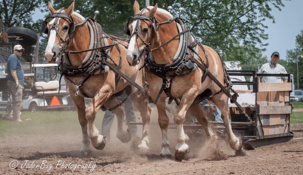 belçika ağır yük (koşum) atı