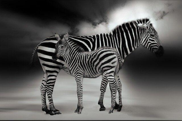 zebra tay